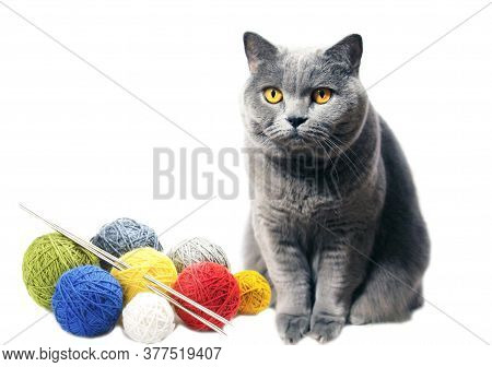 A Gray Cat With Yellow Eyes Sits Near Skeins Of Woolen Threads, Colored Yarn. Scottish Breed Isolate