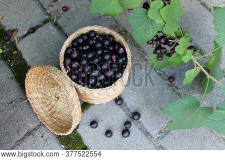Black currant berries in a wicker small box on the background of a Bush with berries. Concept of gro