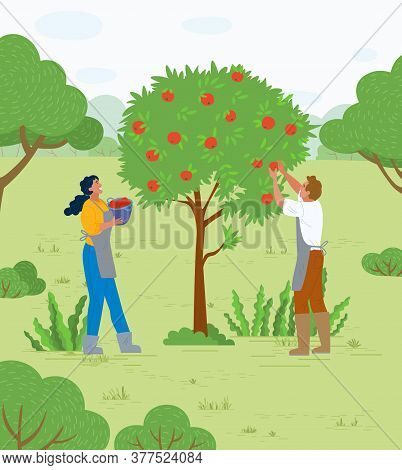 People Working In Garden Vector, Apple Trees Growing In Yard. Farmers With Basket Gathering Fruits.