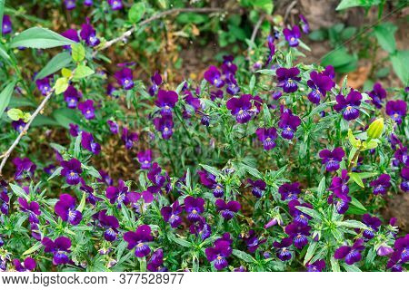 Purple Violet Flowers In The Flowerbed. Blurred Background