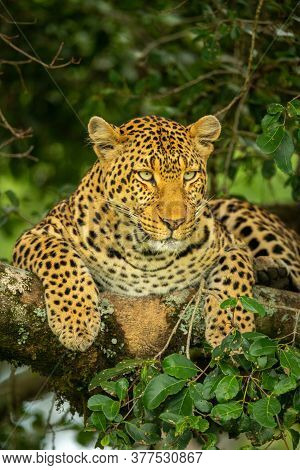 Leopard Lies On Lichen-covered Branch Looking Down