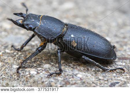 Stag Beetle (lucanus Cervus) On A Paving Slab