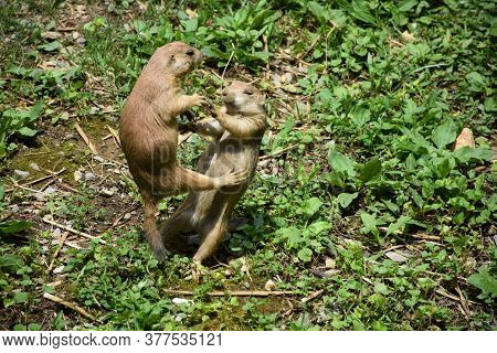 Two Prairie Dogs Playing And Brawling With Each Other.