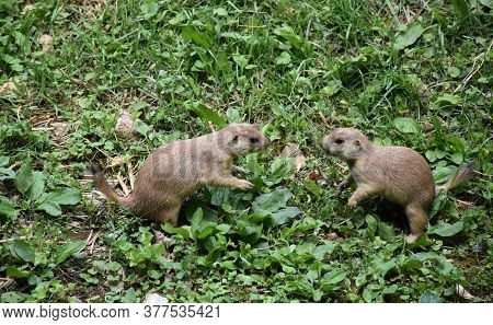Pair Of Black Tailed Prairie Dogs Playing Together.