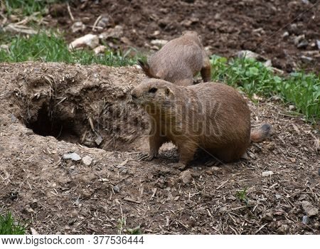 Burrow With Two Black Tailed Prairie Dogs.