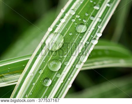 Large Raindrops On A Striped, White And Green, Leaf Of A Plant. Close-up. Drops Of Water After Rain
