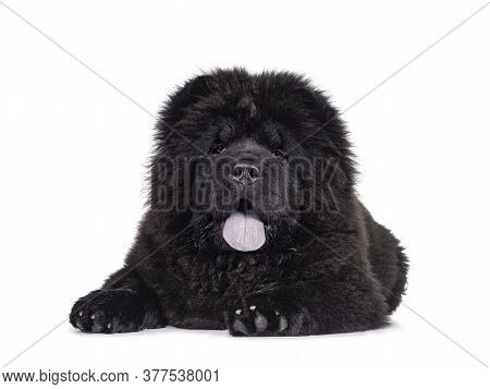 Majestic Solid Black Chow Chow Dog Pup, Laying Down Facing Front. Looking Towards Camera. Mouth Open