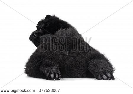 Majestic Solid Black Chow Chow Dog Pup, Laying Down Backwards. Looking Over Shoulder  Towards Camera