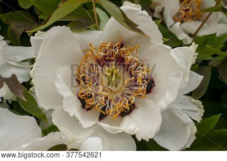 Blossoming White Peony Flower Close-up. Stamens And Mothers Of Peony Macro Photo. Beautiful Nature B
