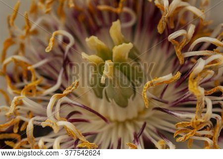 Blurred Image Of Blossoming White Peony Flower, Close Up. Stamens And Mothers Of Peony Macro Photo.