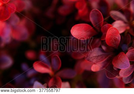 Nature Background. Closeup Red Leaves Decorative Barberry Plant Top View. Natural Plants, Leaf Patte