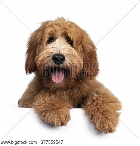 Cute Red / Abricot Australian Cobberdog / Labradoodle Dog Pup, Laying Down Facing Front. Mouth Open,