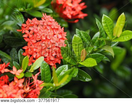 Drop Rain On Ixora Chinensis Red Flower Blooming Bush Tree Texture Nature Leaves Background