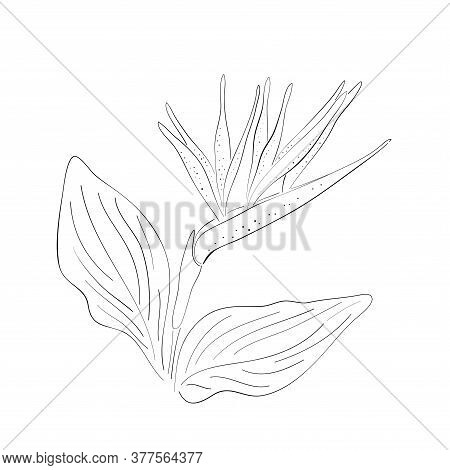 Strelitzia Orange Tropical Flower Isolated Line On White Background. Exotic Tropical Flower Of Strel