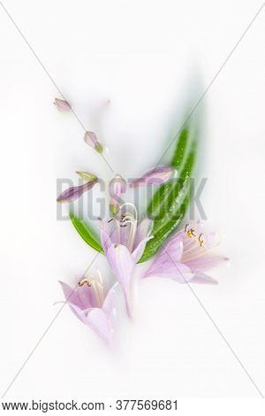 Hosta Flowers And Leaves In A Milk Bath. Conceptual Photography: Purity, Tenderness, Body Care. Gree