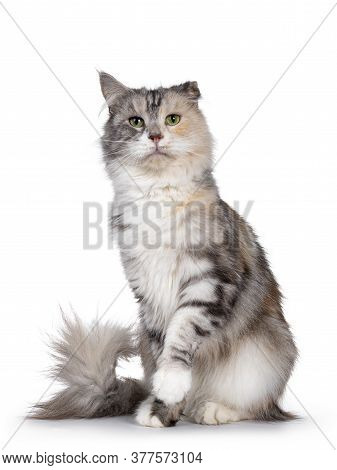 Cute Silver Tortie Maine Coon Cat, Sitting Facing Front. Looking Beside Camera With Green Eyes. Isol
