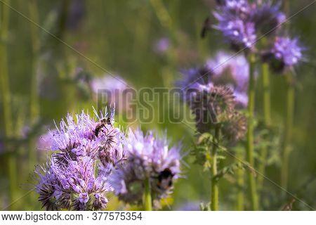 Bee Collecting Pollen At Purple Blossom. Honeybee Looking For Nectar Of Flower. Honeybee Harvesting