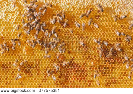 Honeycomb With Bees. Lot Of Bees On Golden Honeycomb. Close-up Of Honey Bees On Beehive In Apiary. H