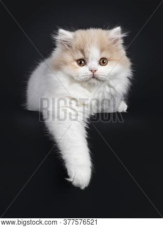Fluffy Creme With White British Longhair Cat Kitten, Laying Down Facing Front. Looking At Camera Wit