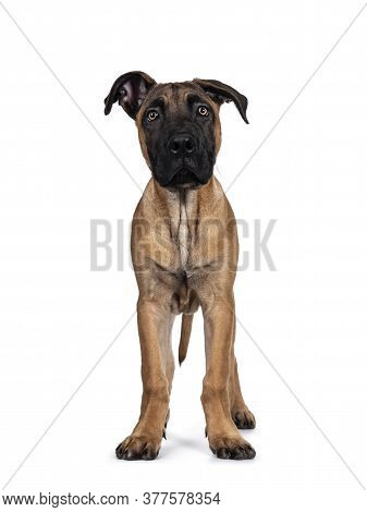Handsome Boerboel / Malinois Crossbreed Dog, Standing Facing Front. Head Up, Looking Ahead With Mesm