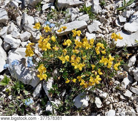 Mountain Flowers At The Foot Of The Italian Dolomites Growing On Limestone Rocks