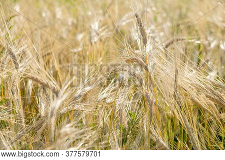 Rye Ripens On The Field In Summer. The Wind Pumps Ripe Rye In The Wind In The Summer.