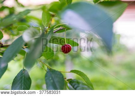 Splitted Ripped Cherry Fruit On The Tree,  After Heavy Rains At  Summertime The Fruits Starting To S