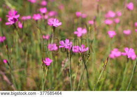 Dianthus Borbasii Vandas, Dianthus Deltoides Blooming In The Meadow.