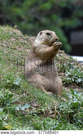 Adorable Prairie Dog Saying His Prayers With His Paws Folded.