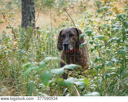 Plott Hound Hunting Finish In The Forest In Autumn