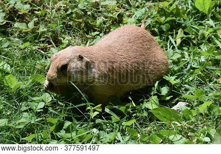 Cute Overweight Prairie Dog Eating Green Grass.