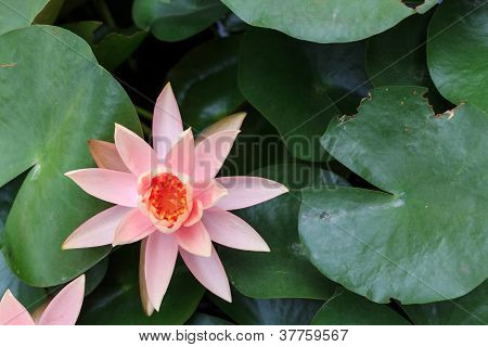 Lightpink Lotus In The Pond