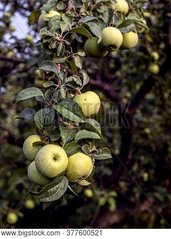 Ripen Green Juicy Apples On Branches In The Garden