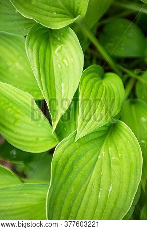 Green Leaves Hosta. Perennial Herbaceous Plant Of The Asparagus Family.