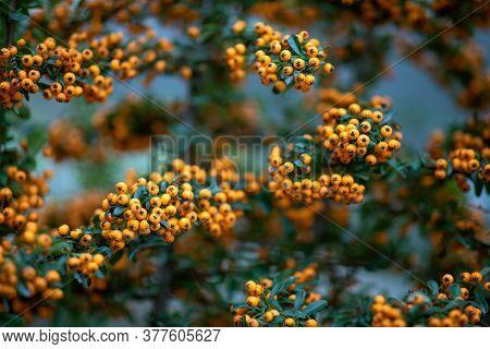 Rowan Berries, Mountain Ash Sorbus. Botany, Leaves Rowanberry.