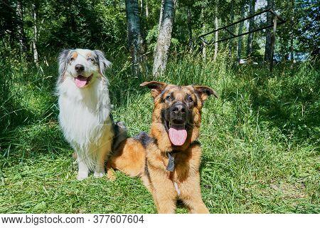 Australian Shepherd And German Shepherd On Green Grass. Australian Shepherd Sitting, German Shepherd