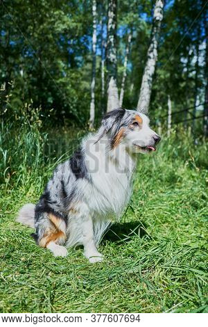 Australian Shepherd With Rare Ocular Heterochromia. One Eye Is Light Blue, The Other Is Brown. The D