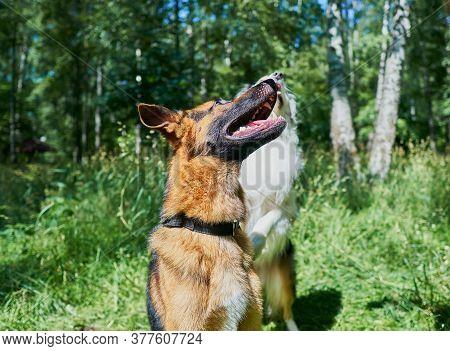 Australian Shepherd And German Shepherd On Green Grass. German Shepherd Is About To Jump Up