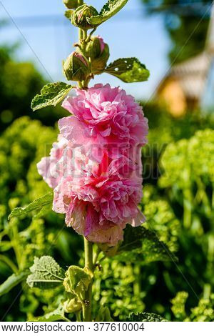 Pink Mallow Flowers (malva Alcea) On A Flowerbed