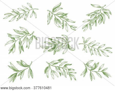 Olive Branches. Green Greek Olives Tree Branch With Leaves Decorative Hand Drawn Vector Sketch Illus