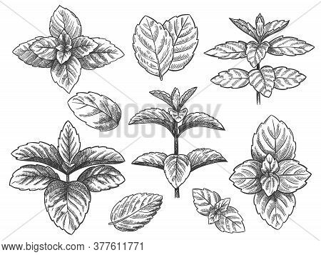 Engraved Mint Leaves. Sketch Peppermint Herb, Spearmint Plant. Menthol Leaf Retro Hand Drawn Vector