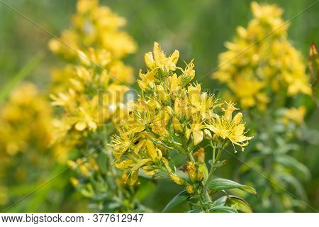 Saint Johns Wort (hypericum Perforatum)