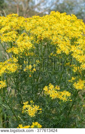 Close Up Of Flowers On A Common Ragwort (jacobaea Vulgaris) Plant