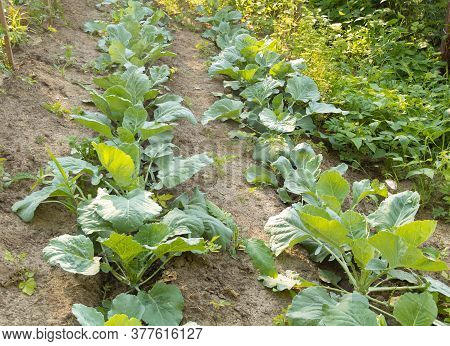 Cabbage Grows In The Garden. How To Grow Cabbage At Home