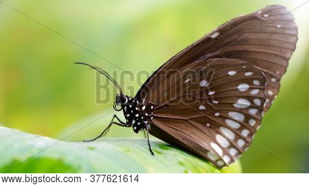 brown butterfly resting on a green leaf, this fragile lepidoptera has wide wings and long antennas, he stays in a tropical botanical garden in Chiang Mai, thailand