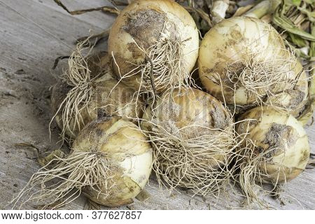 Macro Shot With Shallow Depth Or Selective Focus Of Unearthed Harvest Of Sweet White Onions With Sta