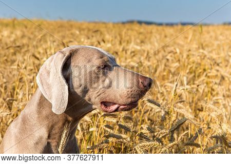 Weimaraner Sitting In A Barley Field. Hunting Hound In The Woods. Hunting Season. Detail Of A Dog's