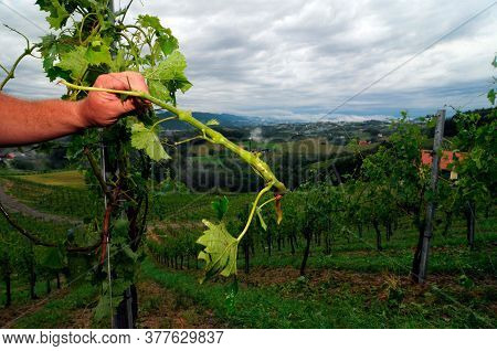 Hail Damage In A Vineyard, Farmer Showing Damaged Vine Plants