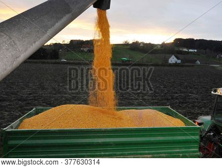 Corn Field Harvest In Agriculture