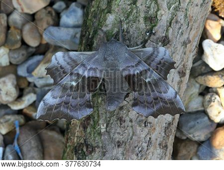 Poplar Hawk-moth;from A Light Trap  Marston Vale; Bedfordshire; England